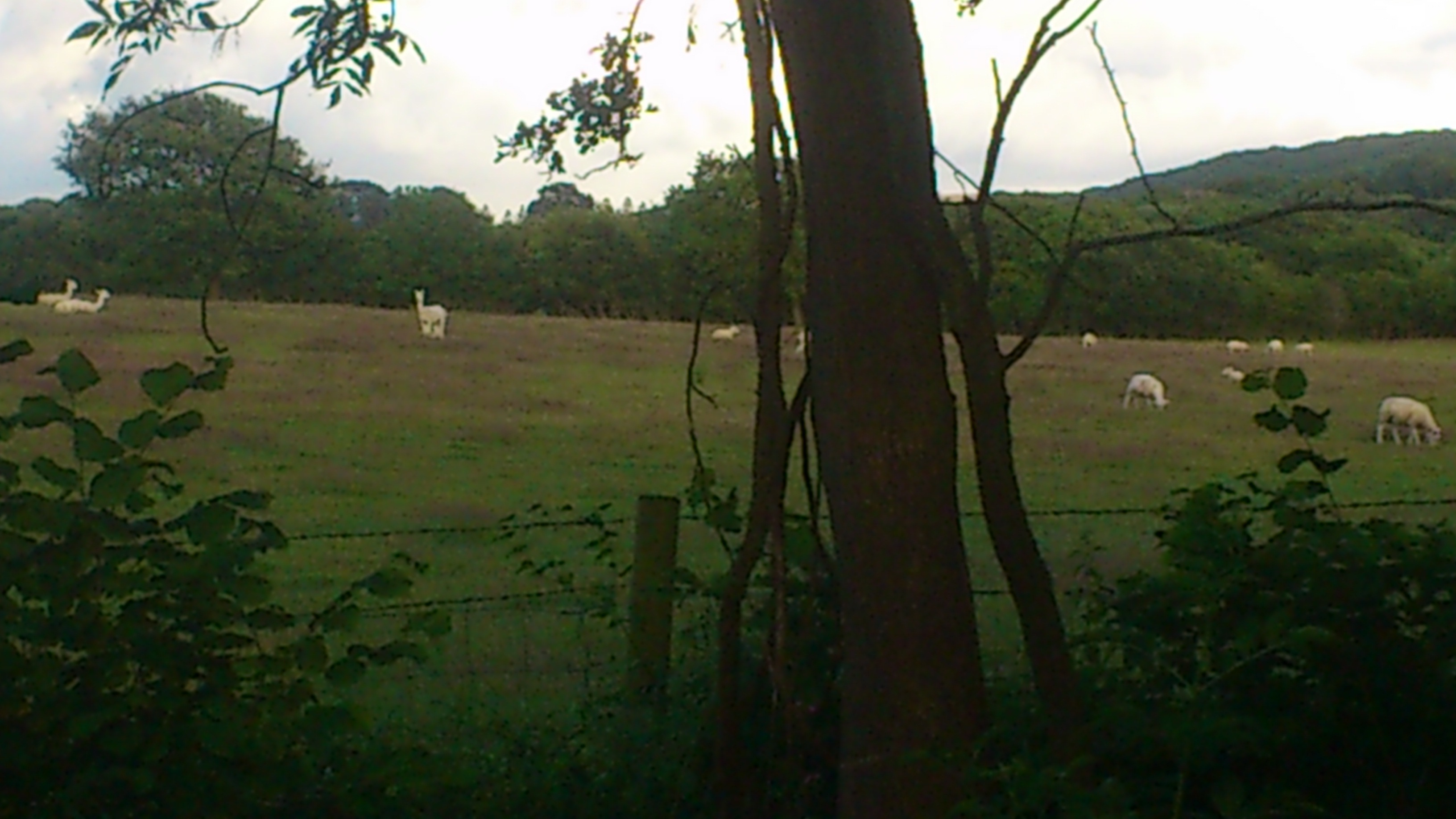 Long necked sheep in the field next to where I was camping.