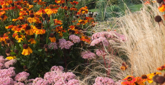 Sedum, Helenium and Tenuissima in the swimming pool flower beds